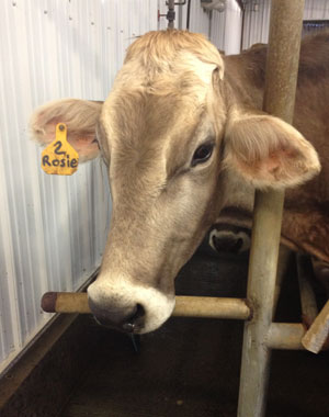 Rosie the Brown Swiss Cow